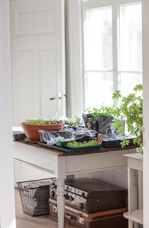 Odling-av-sommarblommor frösådd på bordet under fönstret