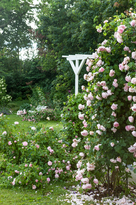 Constance sprey klätterros trädgård