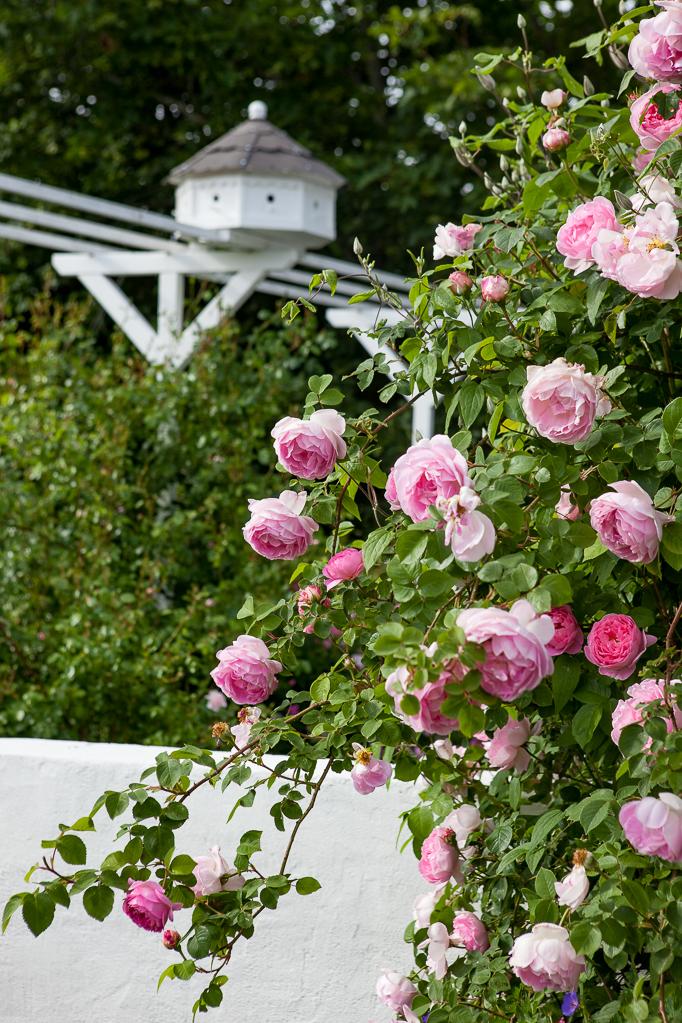 klätterros valdemar rosportal rosenträdgård fågelholk romantisk