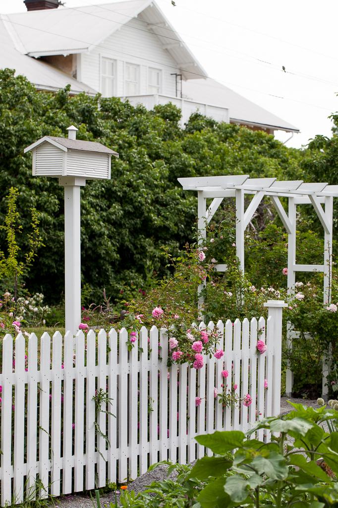Rosen John Davis staketet fågelholken  portalen  köksträdgården Romantiskt rosenträdgård blommor trädgård huset
