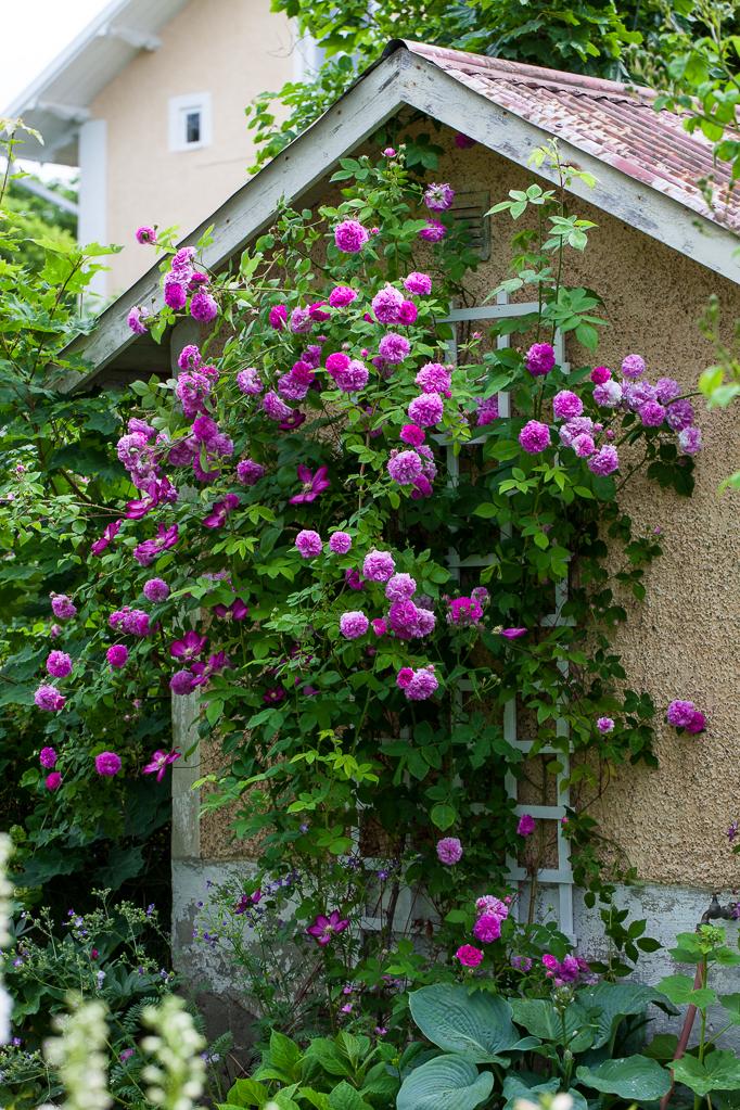 Romantisk rosenträdgård blommor klematis rosor trädgård uthus mormorsväxter perenner