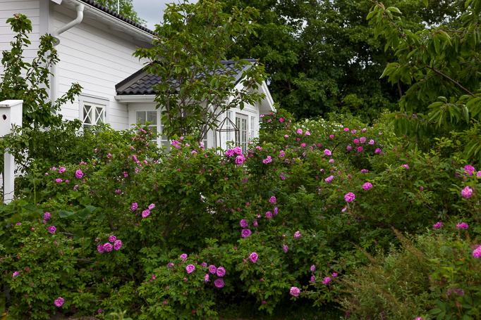 Mammas hus mitt i rosenbuskaget av kanadensiska rosen wasagamin