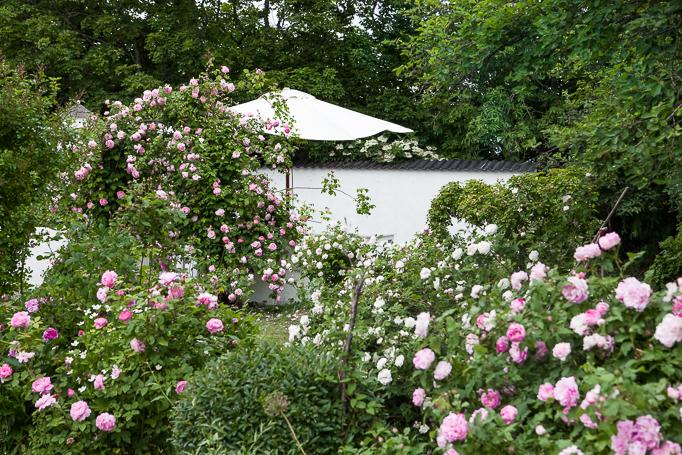 Romantisk trädgård rosor Uteplats vid muren med 'Constance spry' på en portal