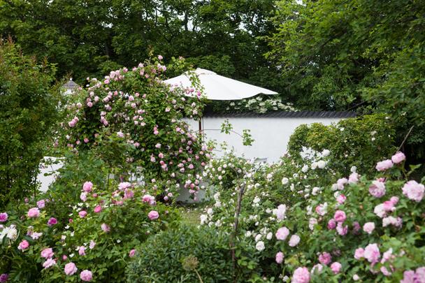 Uteplats med mur och portal med klätterrosen contance sprey trädgård rosenträdgård trädgårdsdesign