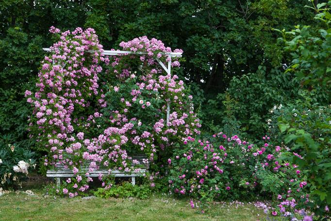 Klätterrosen valdemar på en klätterställning trädgård rosenträdgård trädgårdsdesign