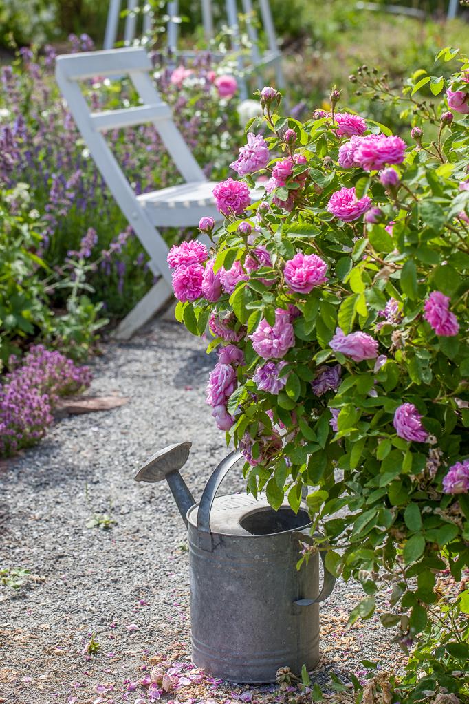 Romantisk Trädgård rosor liten stuga med glasveranda blommor rosenträdgård