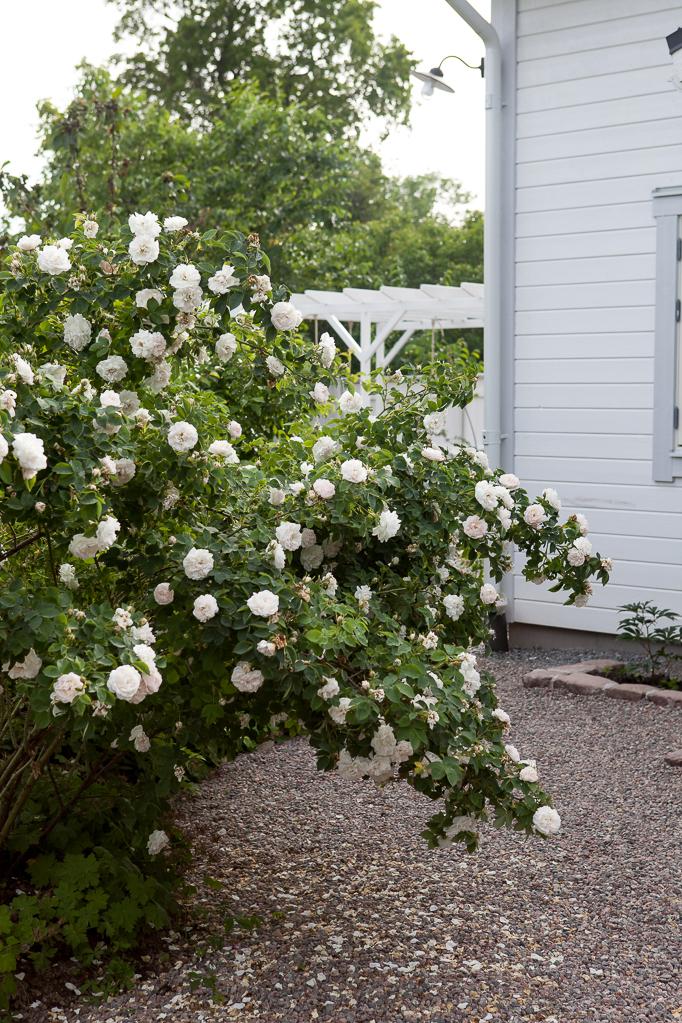 Vit alba ros Maxima romantisk rosenträdgård grusgångar stenkanter husknut