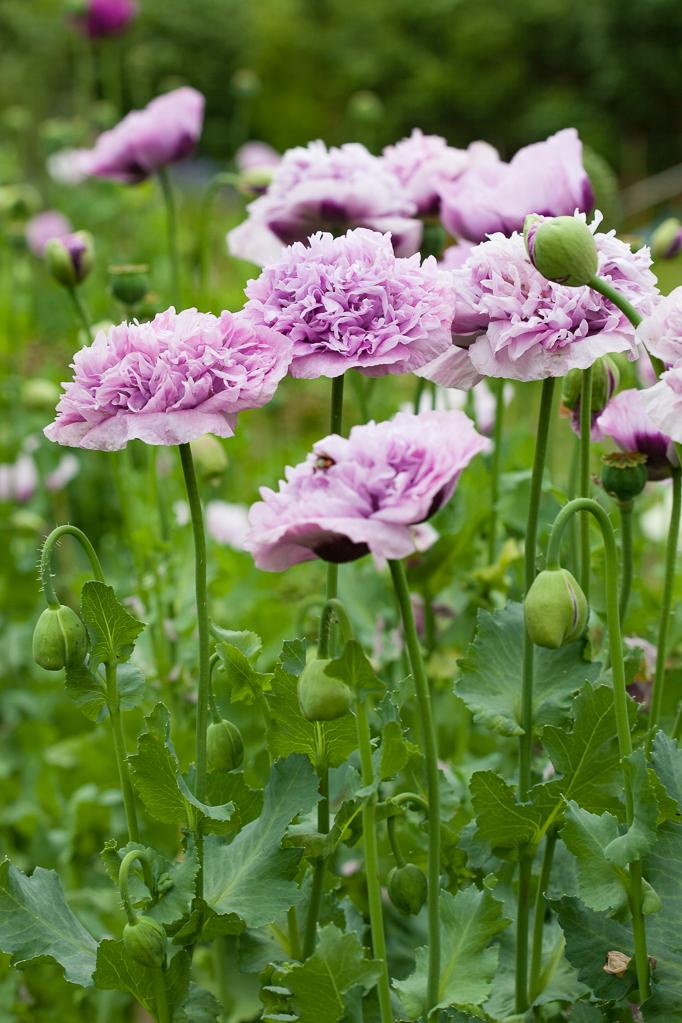 Odling-av-sommarblommor Odla ros och lila pionvallmo i trädgården