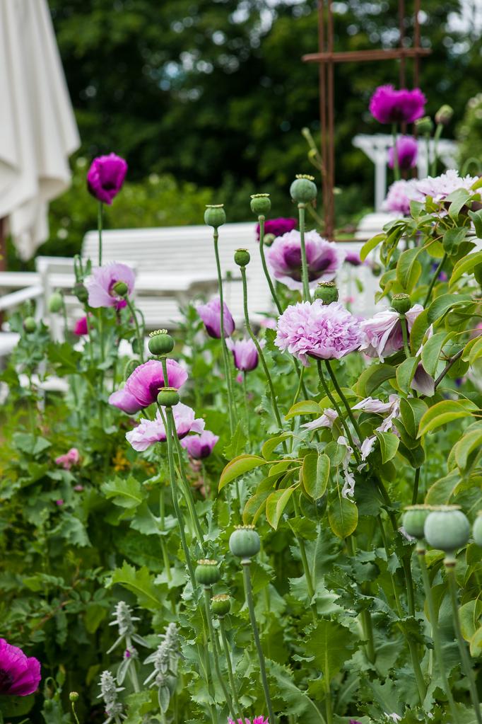 Odling-av-sommarblommor Odla rosa och lila pionvallmo i trädgården