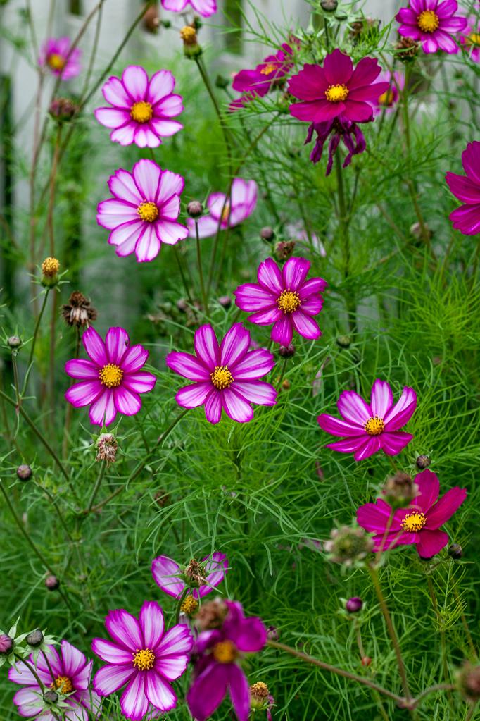 Odling-av-sommarblommor Rosenskära rosa vit odla