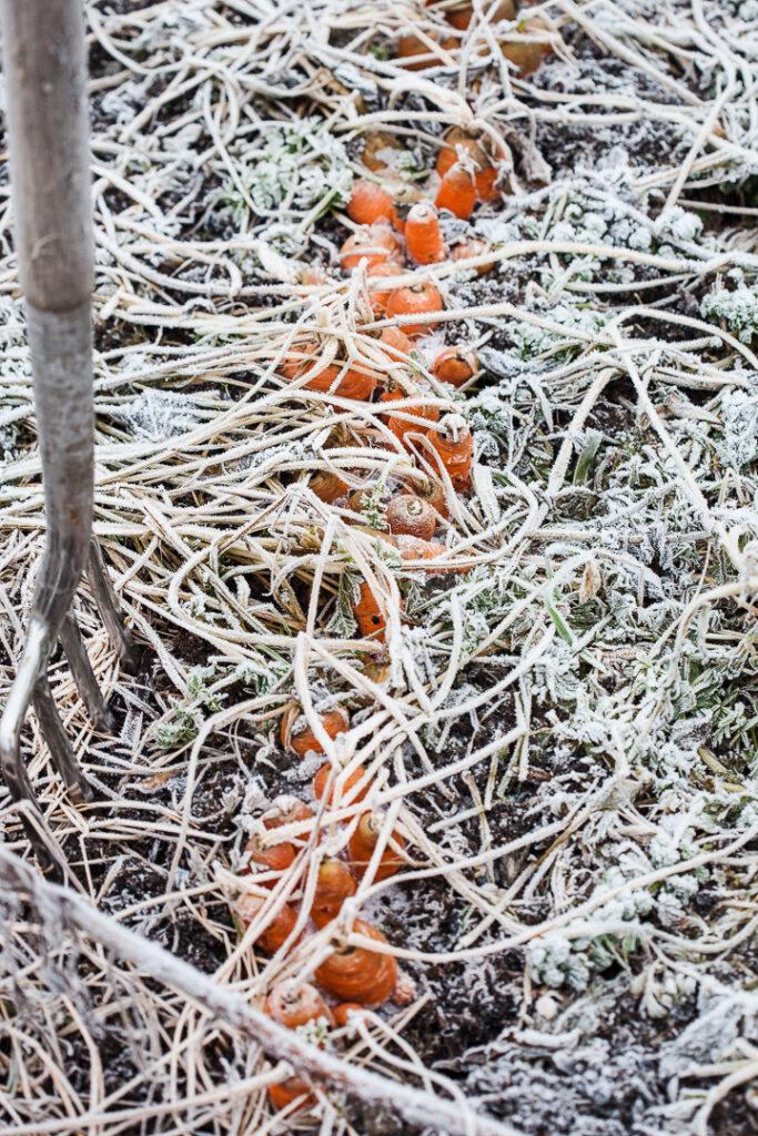 Morötter i köksträdgården på vintern med frost
