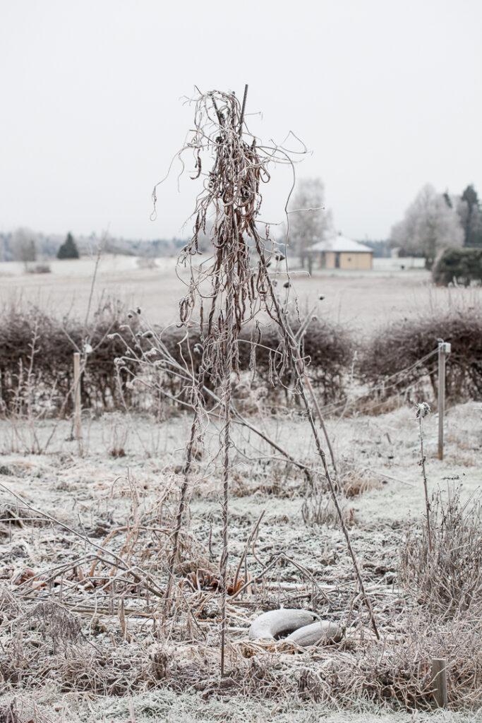 Köksträdgården på vintern med frost