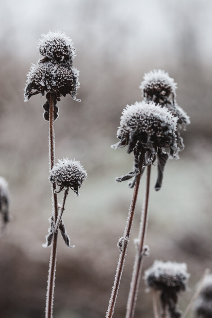 Vinterbild från trädgården med frost