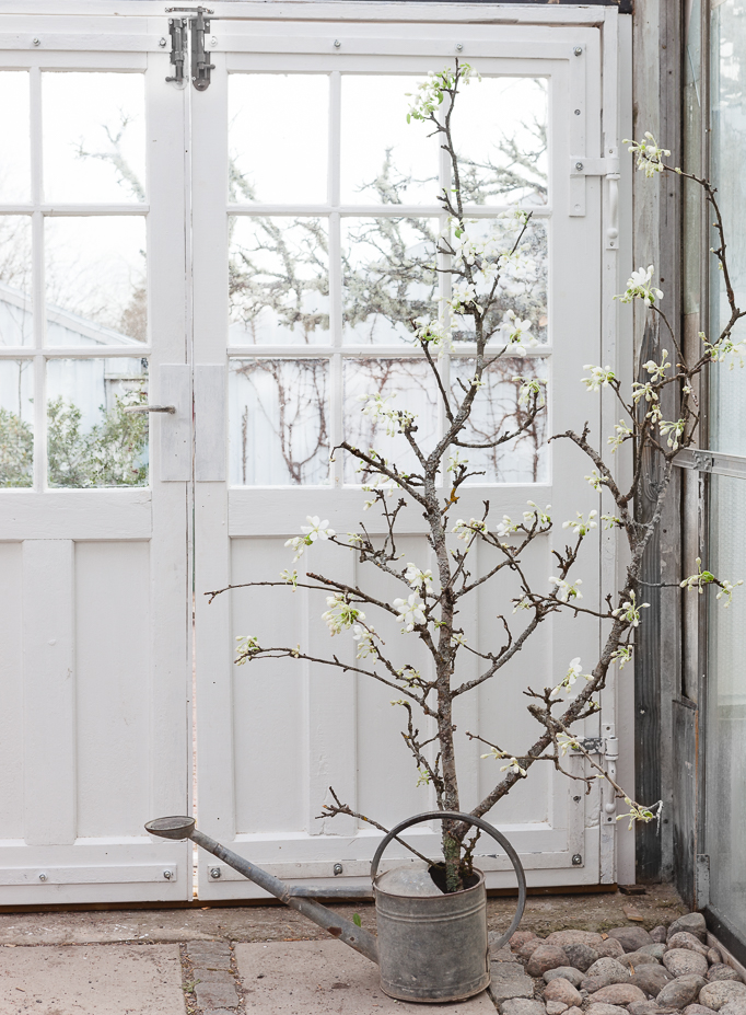 Glasdörr i växthus med blommande äppelgren i vattenkanna