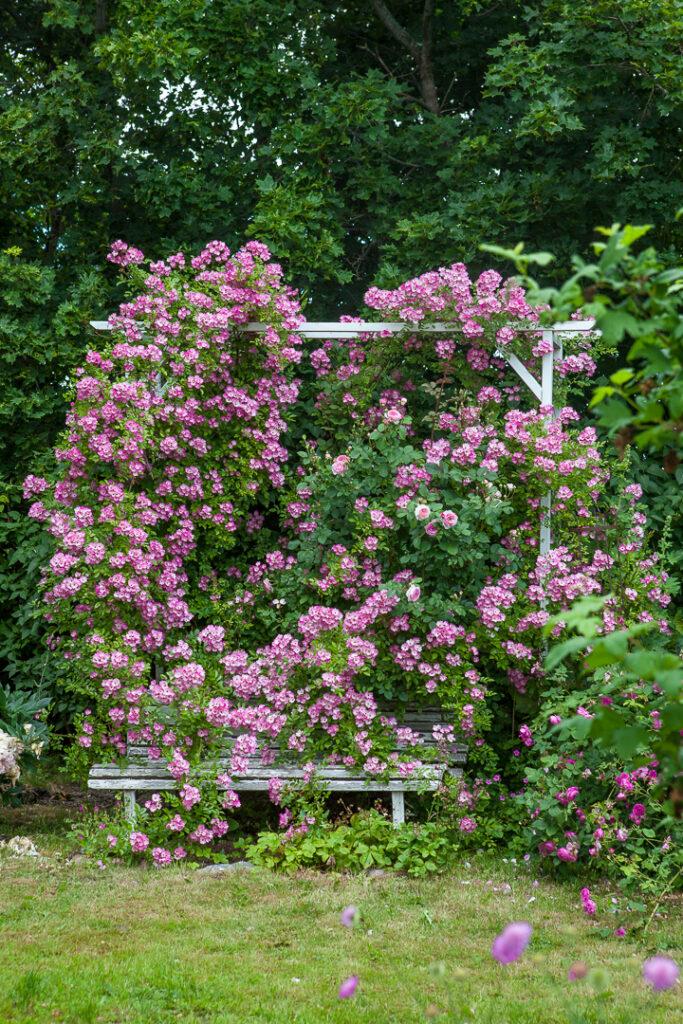 Ros öppen trädgård